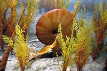 Ammoniten 5