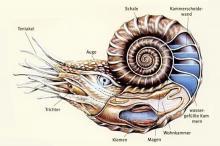 Ammoniten 6
